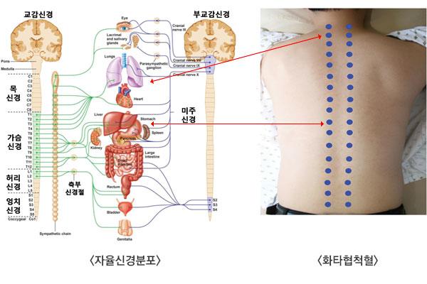 자율신경분포 이미지